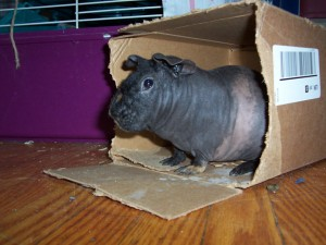 Hot Water Bottle, the Skinny Pig